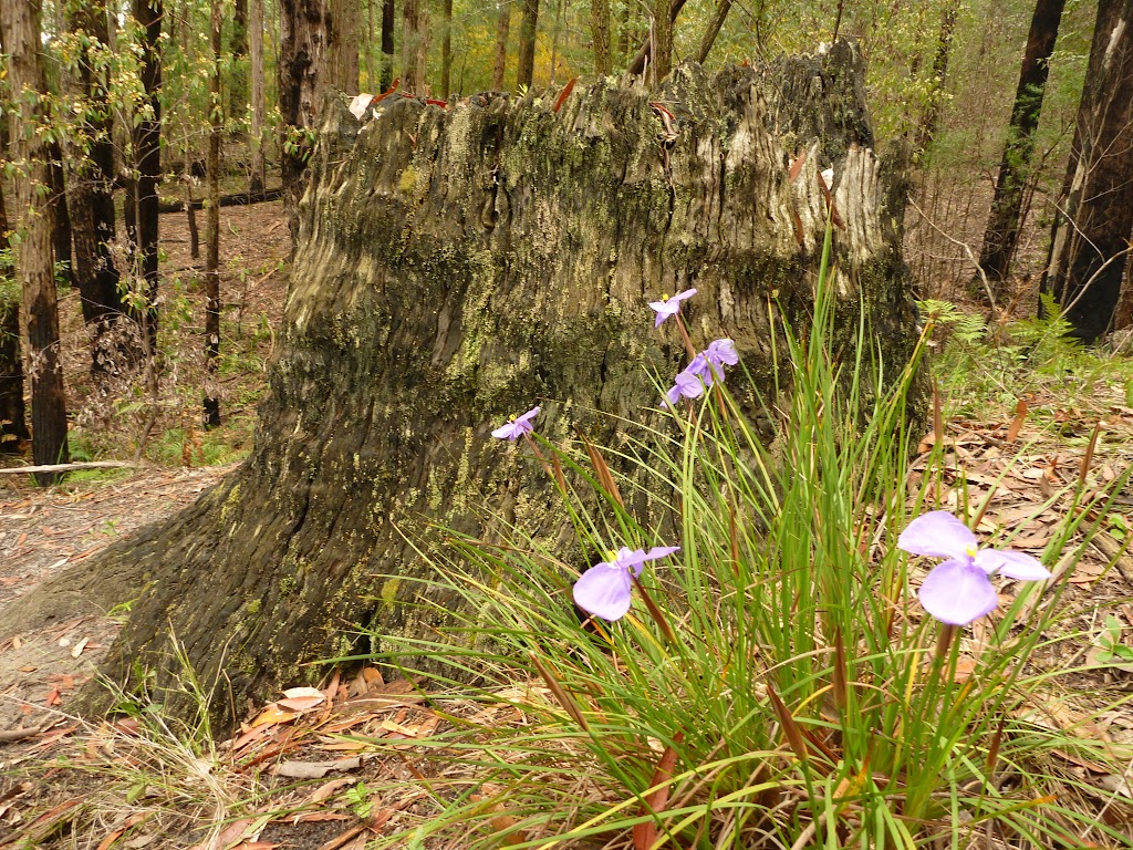 Patersonia Lily Flowers and tree stump in the Watagans