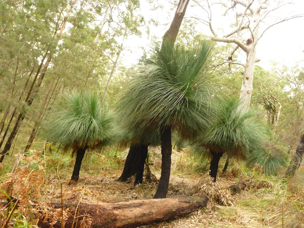 Xanthorhoea (grass trees) near track near Monkey Face cliff in the Watagans