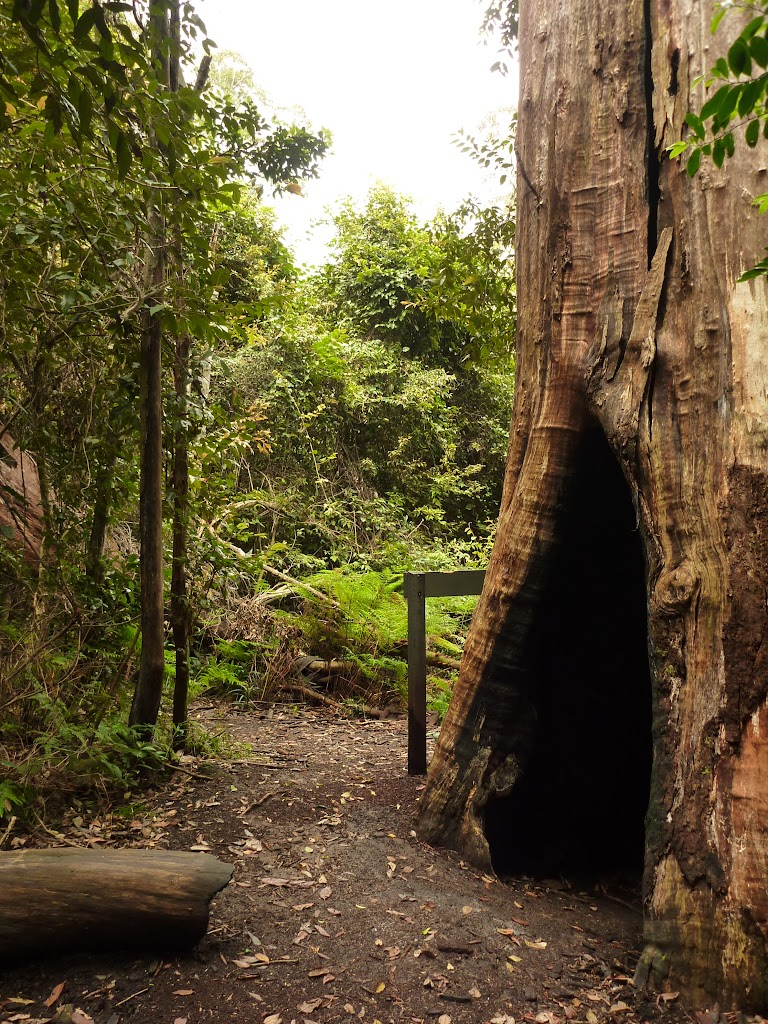 Large old tree trunk at intersection of Gap Creek Falls and Forest Walk in the Watagans