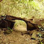 Track through large tree trunk near Gap Creek Falls in the Watagans (323909)