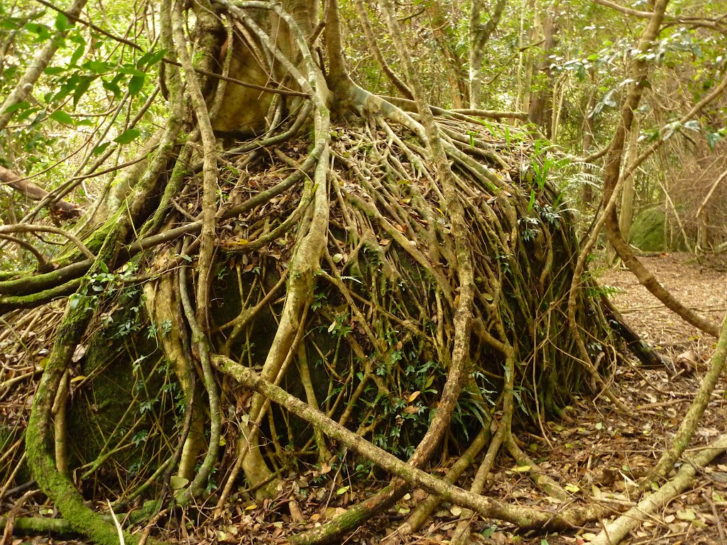 Strangler fig roots growing over a rock in the rainforest near Gap Creek Falls in the Watagans