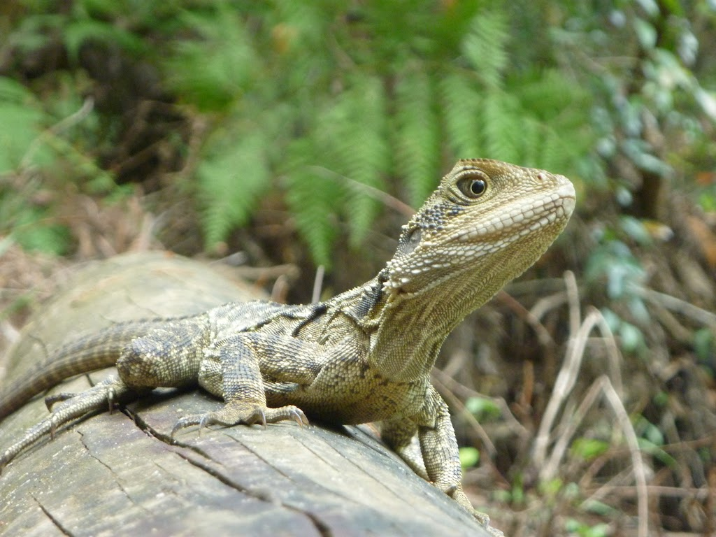 Water Dragon near Berowra Creek campsite (329105)