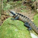 Water Dragon near Sams Creek (331442)