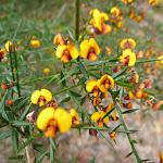 Pea flowers (331829)