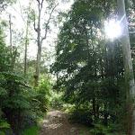 Sassafras stand on Rosemead trail (332855)