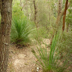 Winding amoung the Grass trees