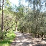 Casurina stand near Brickmakers Creek