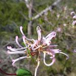 Pink spider flower (Grevillea sericea)