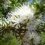 Tick bush (Kunzea ambigua)