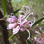 Grevillea 'Pink Midget' (345337)