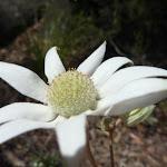 Flannel Flower (Actinotus helianthi) (346504)