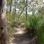 Grass Trees in a eucalypt forest (347512)