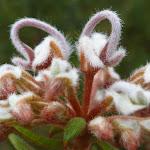 Grey Spider Flower (Grevillea Buxifolia) (348358)