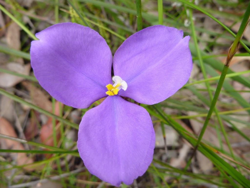Patersonia Lily (Patersonia sericea)