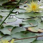 Water Lilies on Brooklyn Dam (351043)