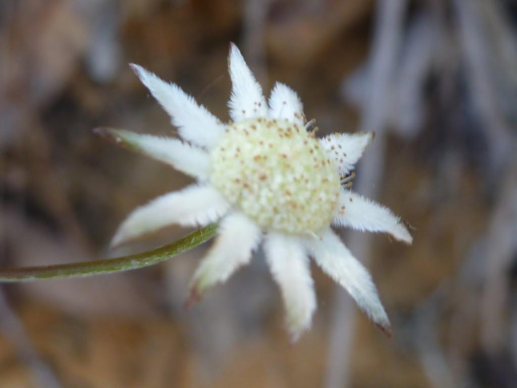 Flannel Flower (Actinotus helianthi) (352334)