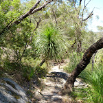 Grass trees on the steep easten valley of Berowra  Creek (354386)