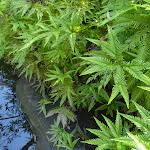 Ferns beside Joe Crafts Creek