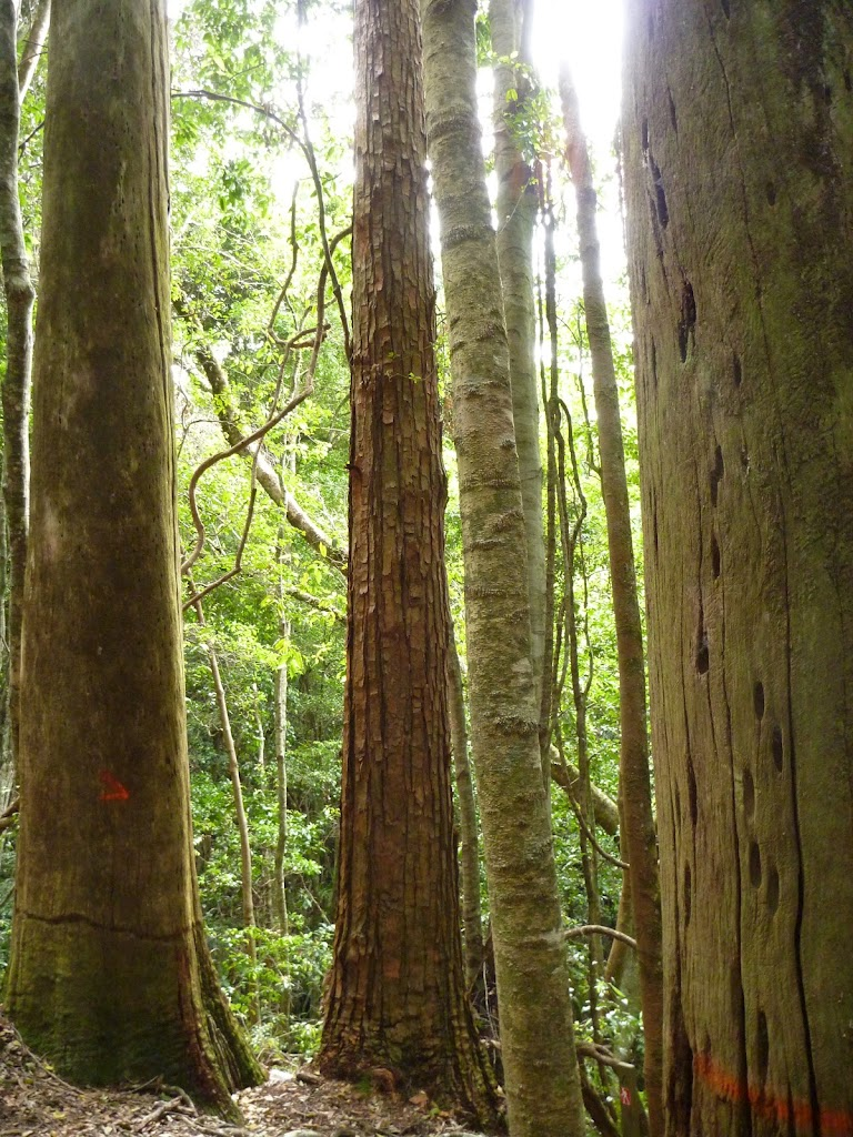 Tall forest in Wallis Creek Valley