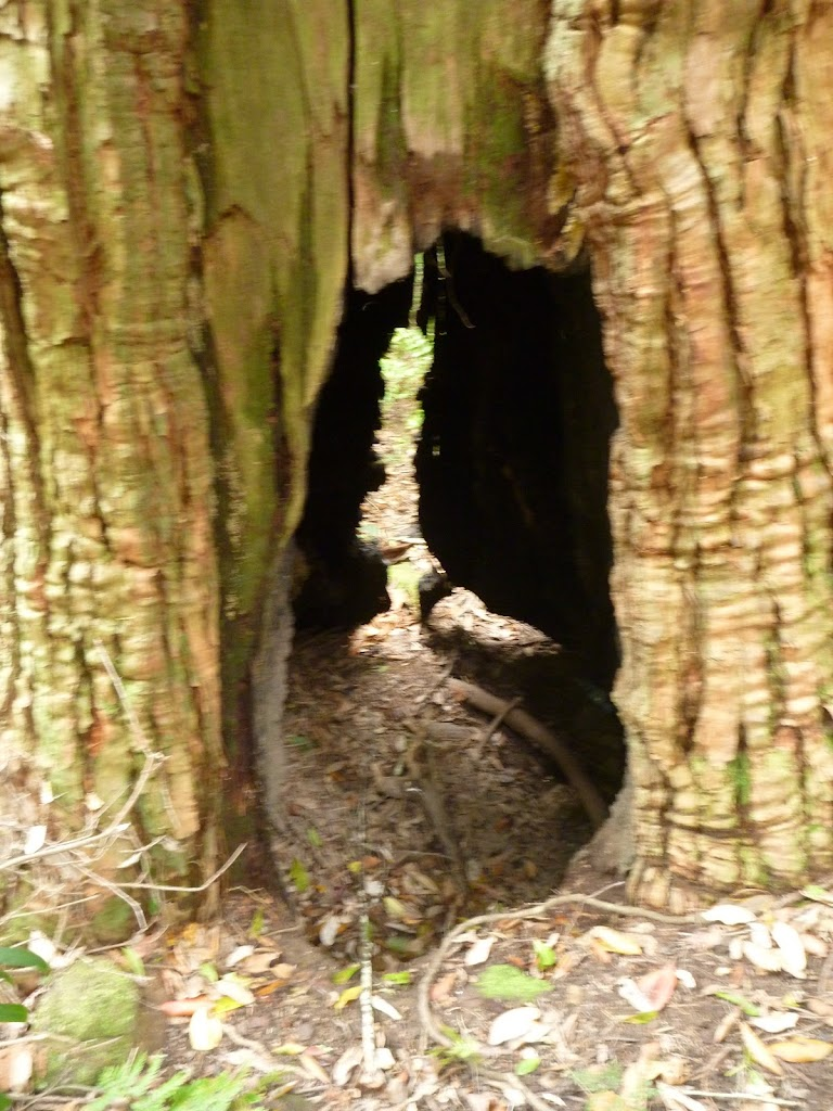 Hollow tree on the Great North Walk (360059)