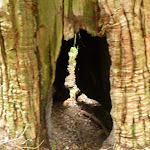 Hollow tree on the Great North Walk