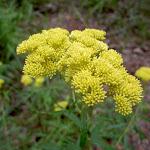 Yellow Flower (36068)