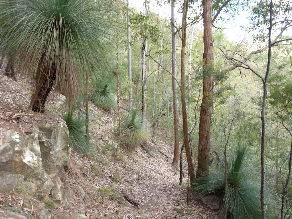 Ancient grass trees in Watagan State Forest