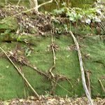 Moss wall south of Wollombi Brook crossing (364400)