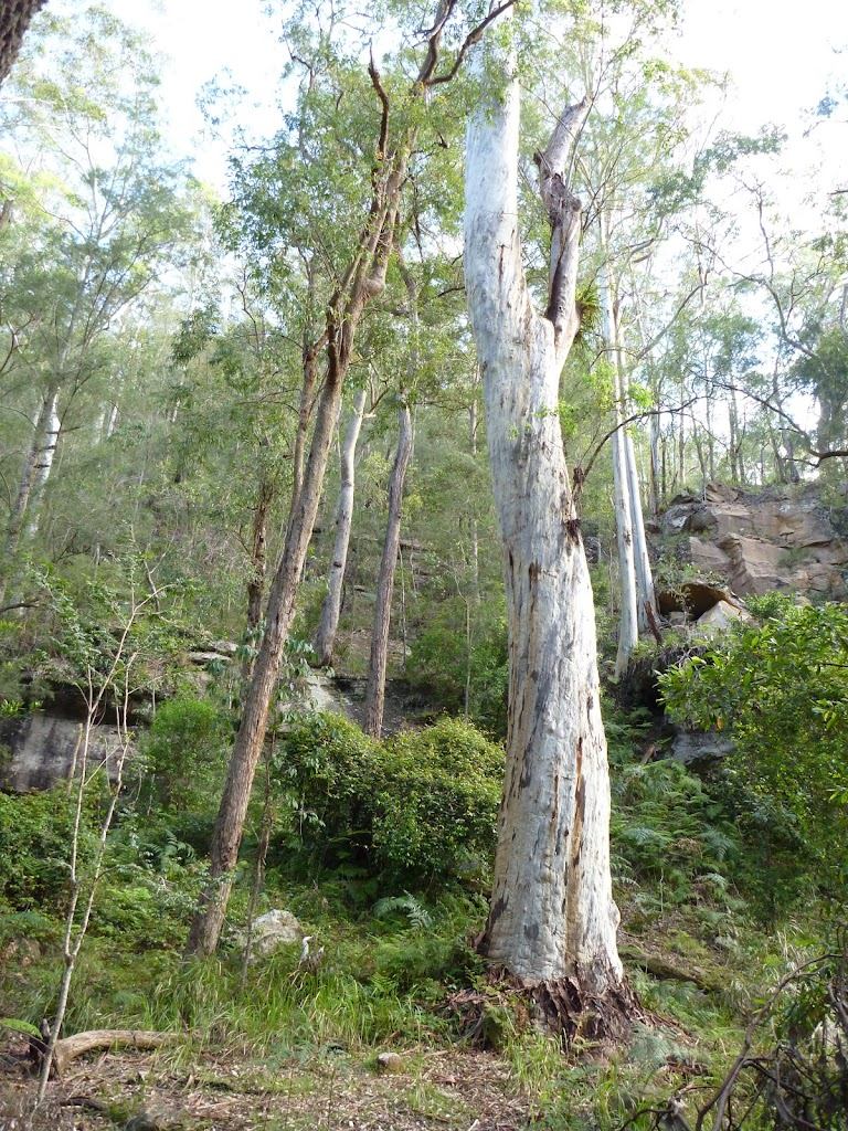 Rock walls and grand trees on the Lyrebird Trail