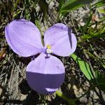 Patersonia Lily (Patersonia sericea) (367970)