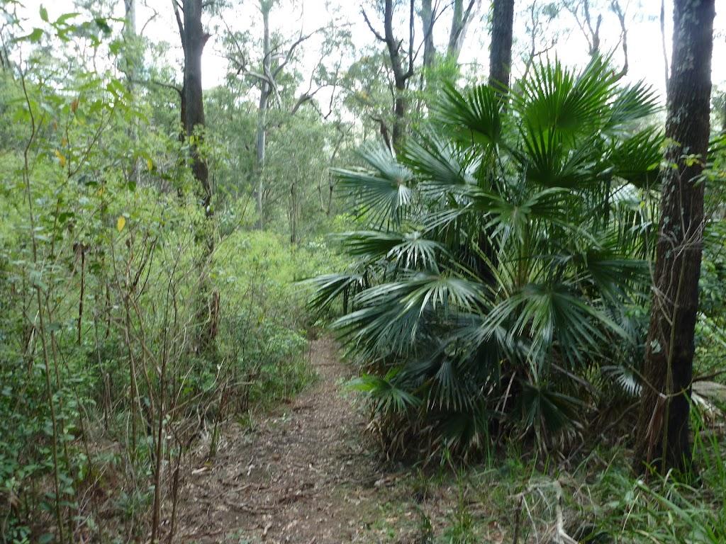 Livistona australis (368695)