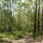 Tall young forest near Ourimbah Creek Road