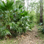 Large clump of Cabbage Palm (Livistona Australis) on the north side of Palm Grove NR
