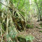 Strangler fig (Ficus obliqua) on mossy rocks in the Palm Grove NR