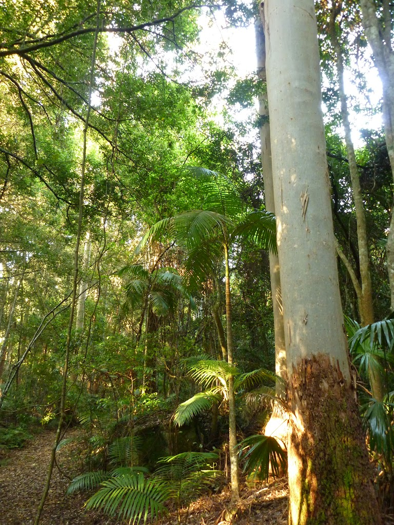 Tall eucalypts and Cabbage palms (370156)
