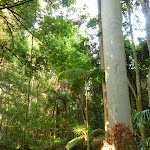 Tall eucalypts and Cabbage palms