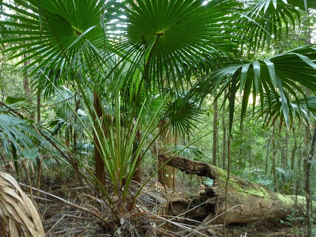 Cabbage Palm (Livistona Australis) (370306)