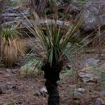 Grass tree (3707)