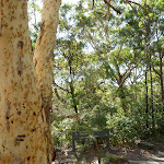Large Scribbly gum near the tourist park (384866)