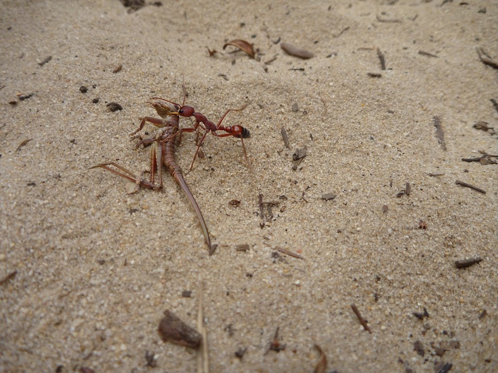 Ant in sand on the Awabakal Nature Reserve