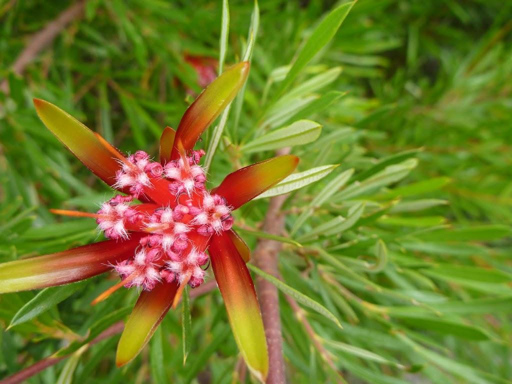 Mountain Devil flower on the Awabakal Coastal Walk