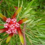 Mountain Devil flower on the Awabakal Coastal Walk (392000)