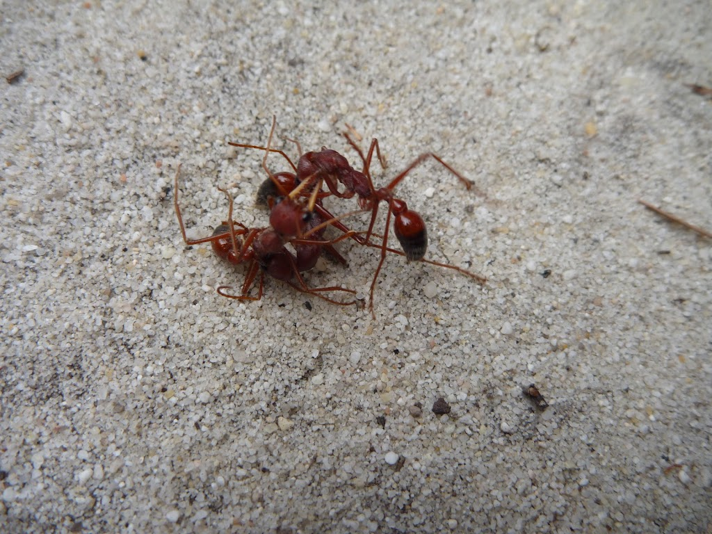Ant on sand in the Awabakal Nature Reserve (392012)