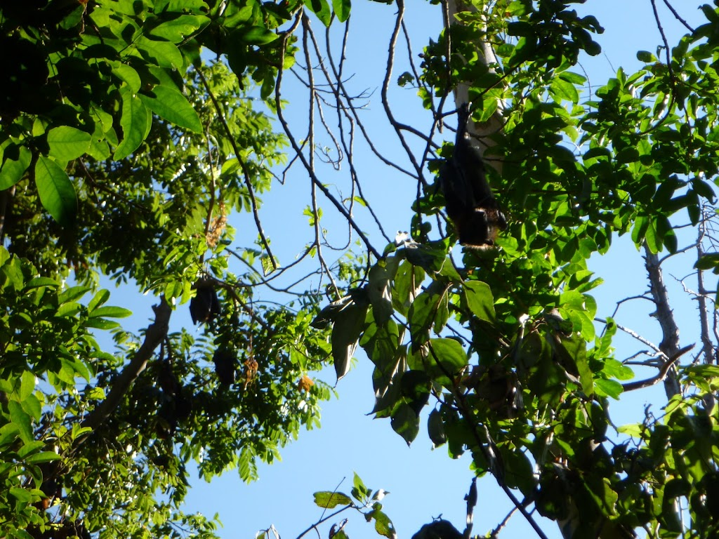 Flying Foxes nesting in trees at the Rain Forest Picnic Area in Blackbutt Reserve