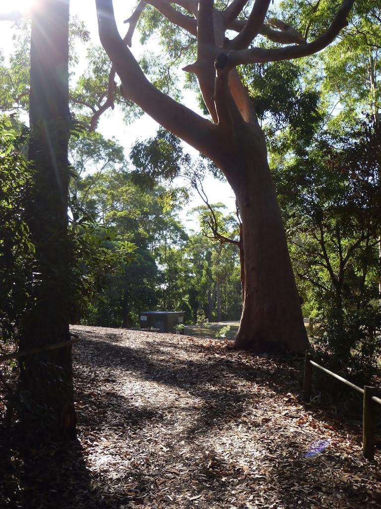 A clearing under a large tree near Lookout Rd in the Blackbutt Reserve