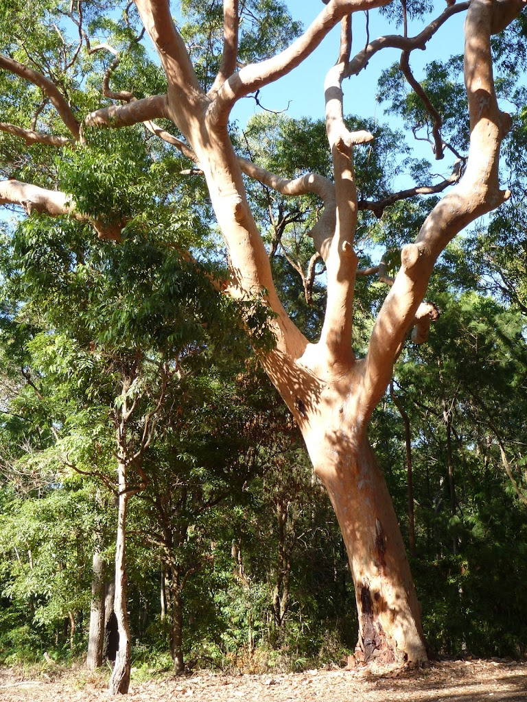 Beautiful large tree at the end of Lookout Rd in the Blackbutt Reserve