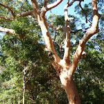 Beautiful large tree at the end of Lookout Rd in the Blackbutt Reserve (399880)