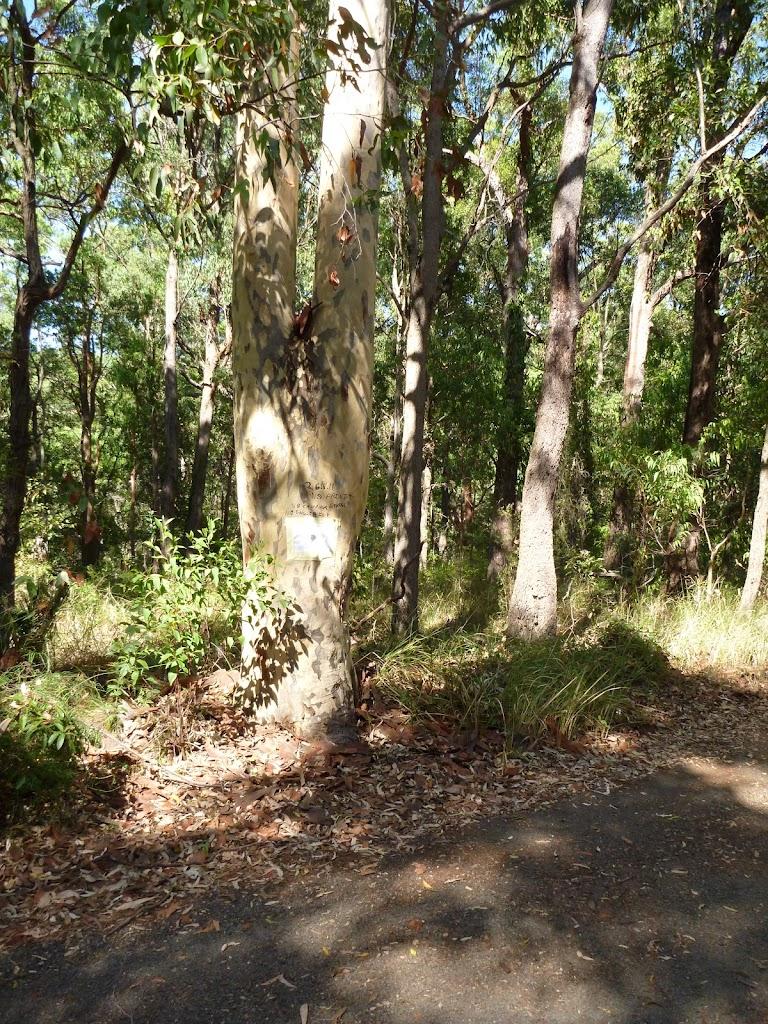 Large eucalyptus forest in Blackbutt Reserve