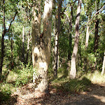 Large eucalyptus forest in Blackbutt Reserve