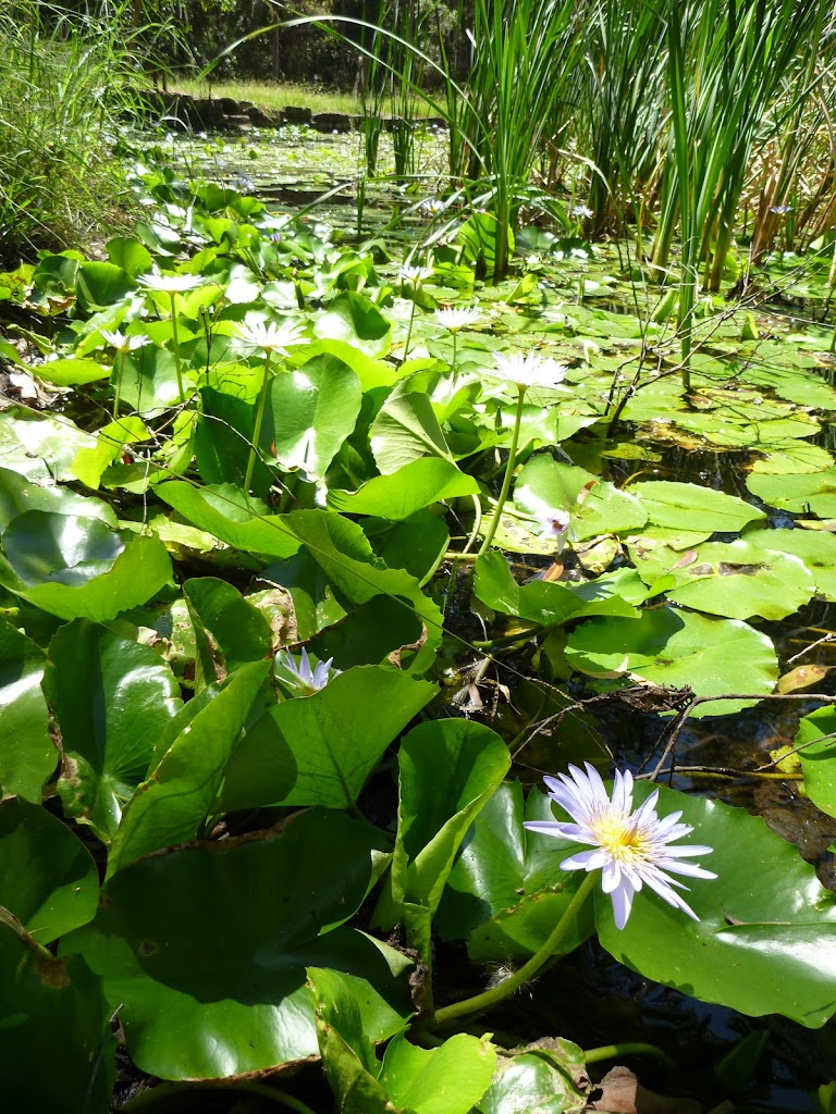 Lush leaves and flowers of the Nymphaea Lily at Lily Pond Picnic Area in Blackbutt Reserve